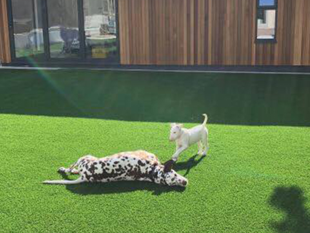 Dog-friendly artificial lawn in Exeter